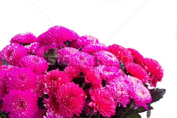 Blauw chrysant bloemen magenta roze Stockfoto © neirfy