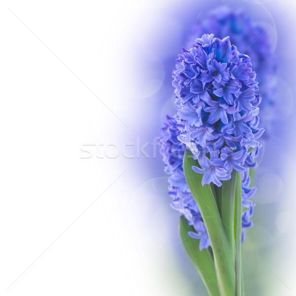Mavi sümbül çiçekler beyaz çiçek bahar Stok fotoğraf © neirfy