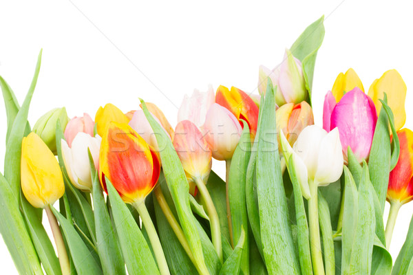 border of multicolored   tulip flowers in white pot Stock photo © neirfy
