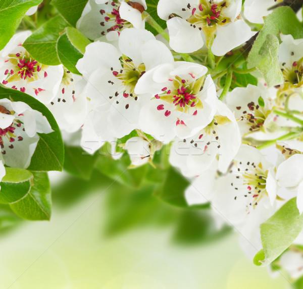 Elma ağacı çiçekler yeşil yaprakları yeşil bokeh Stok fotoğraf © neirfy