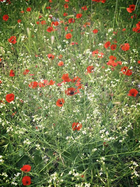 Red poppy field Stock photo © neirfy