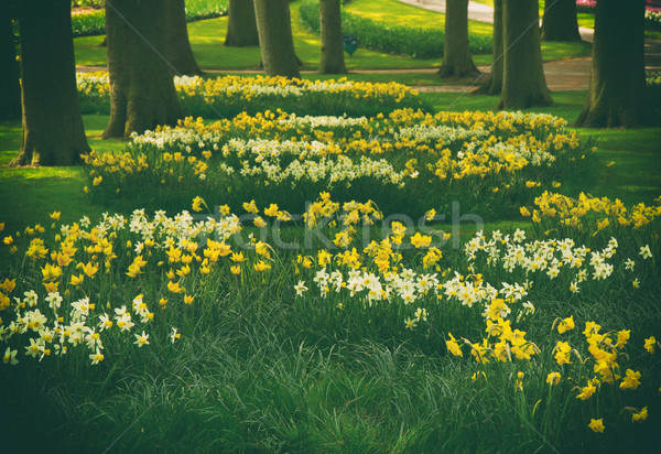 草 芝生 水仙 春 庭園 オランダ語 ストックフォト © neirfy