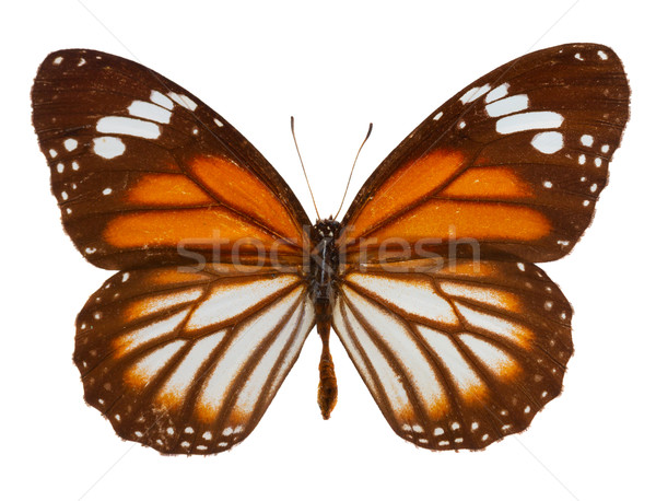 black veined tiger butterfly Stock photo © neirfy