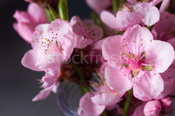 Pembe kiraz çiçeği çiçekler gri çiçek Stok fotoğraf © neirfy