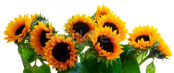 Stockfoto: Dahlia · zonnebloemen · vers · grens · geïsoleerd · witte
