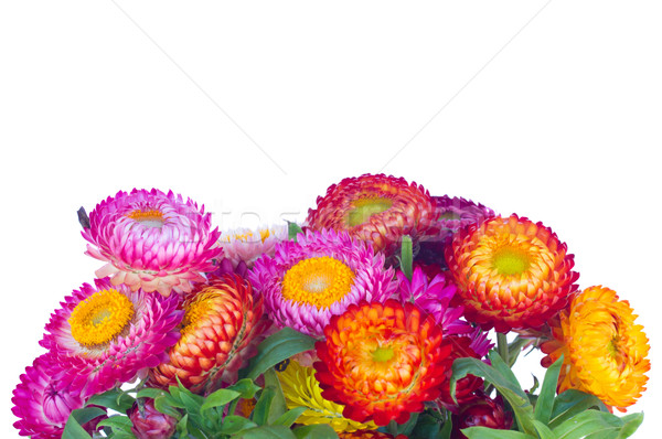 Stock photo: Everlasting flowers