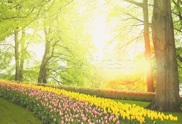 Fiori di primavera Holland giardino colorato verde alberi Foto d'archivio © neirfy