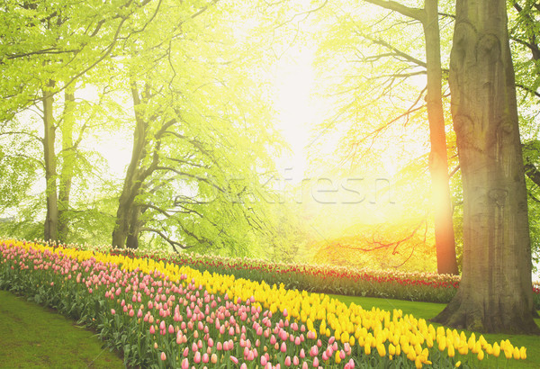 Flores de primavera Holanda jardín colorido verde árboles Foto stock © neirfy