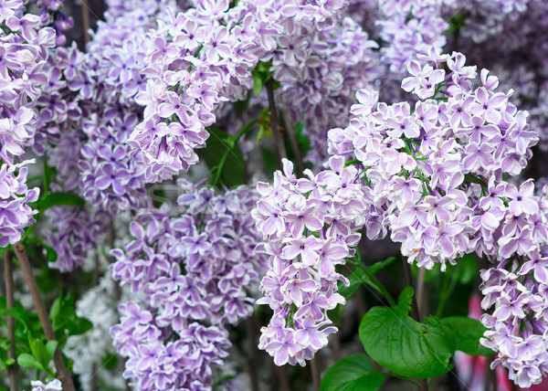 Lilac blooming tree Stock photo © neirfy