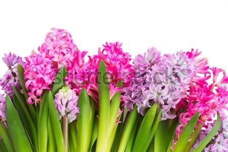 Foto stock: Jacinto · fresco · flores · rosa · isolado