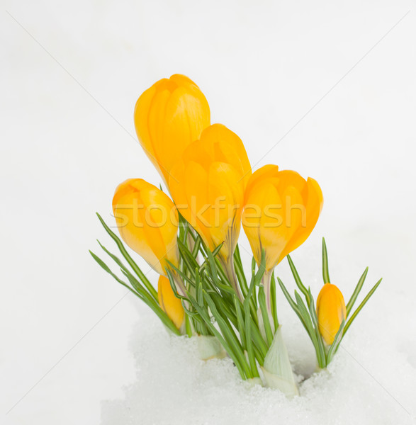 Stock photo: yellow crocuses in snow