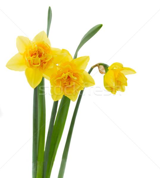 3  黄色 水仙 孤立した 白 背景 ストックフォト © neirfy