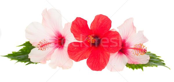 üç ebegümeci çiçekler pembe kırmızı yalıtılmış Stok fotoğraf © neirfy