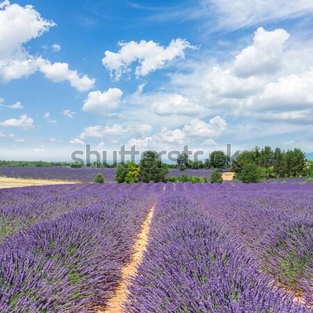 Lavendel veld landschap zomer blauwe hemel Frankrijk Stockfoto © neirfy