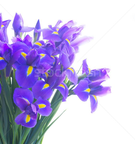 Azul iris flores ramo aislado Foto stock © neirfy