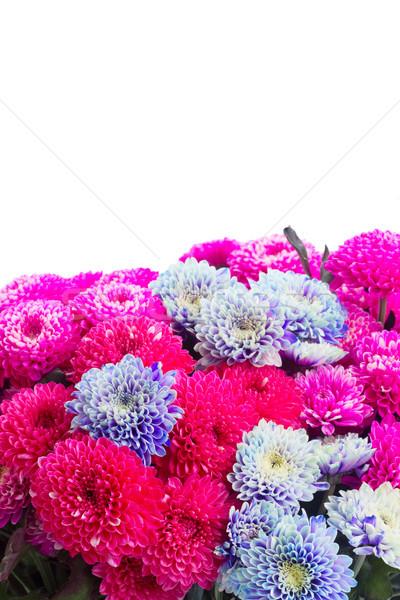 Blauw chrysant bloemen roze grens geïsoleerd Stockfoto © neirfy