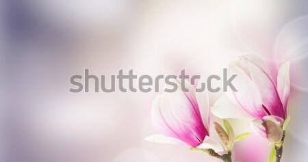 розовый магнолия дерево цветы свежие bokeh Сток-фото © neirfy