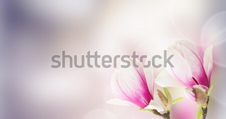 Stock photo: pink  magnolia tree Flowers