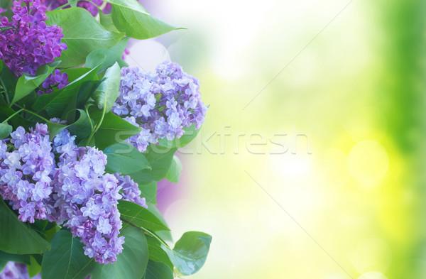 Foto stock: Frescos · lila · flores · hojas · verdes · verde