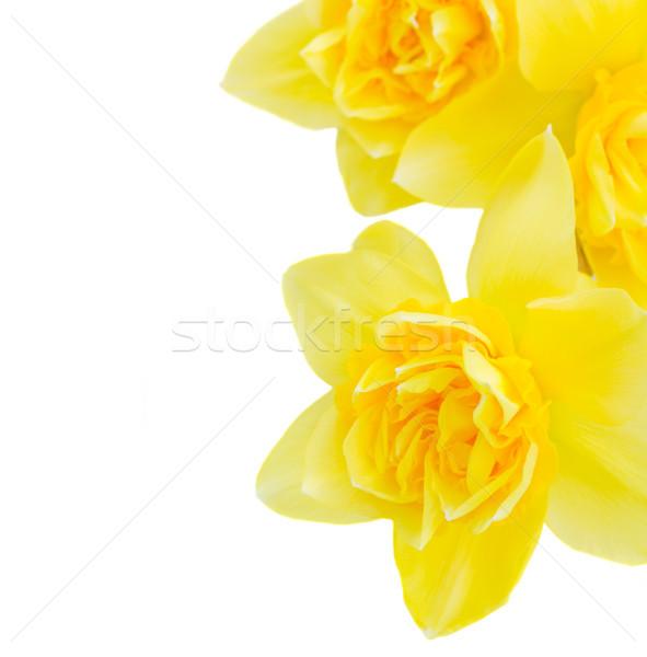 スイセン 花 黄色 マクロ 孤立した ストックフォト © neirfy