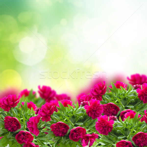 peonies garden Stock photo © neirfy