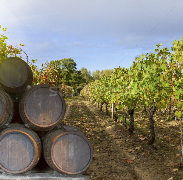 wine yard with grape Stock photo © neirfy