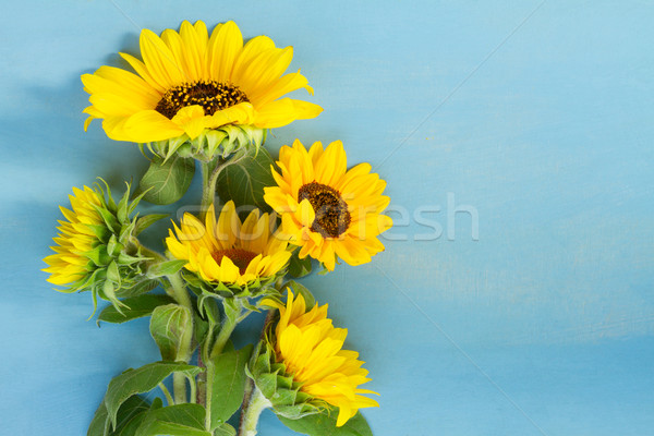 Sunflowers on blue Stock photo © neirfy
