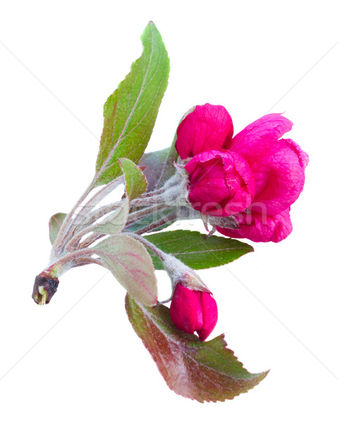 twig of pink spring flowers Stock photo © neirfy