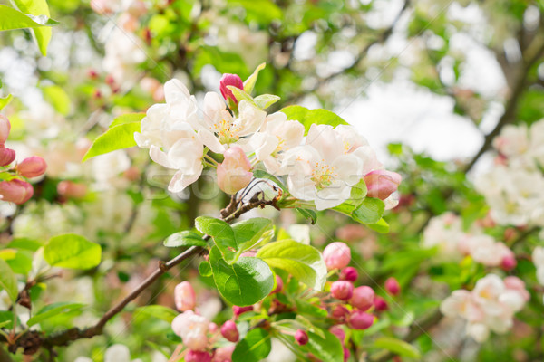Blooming apple tree Stock photo © neirfy