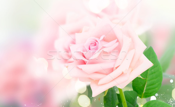 Pink blooming roses Stock photo © neirfy