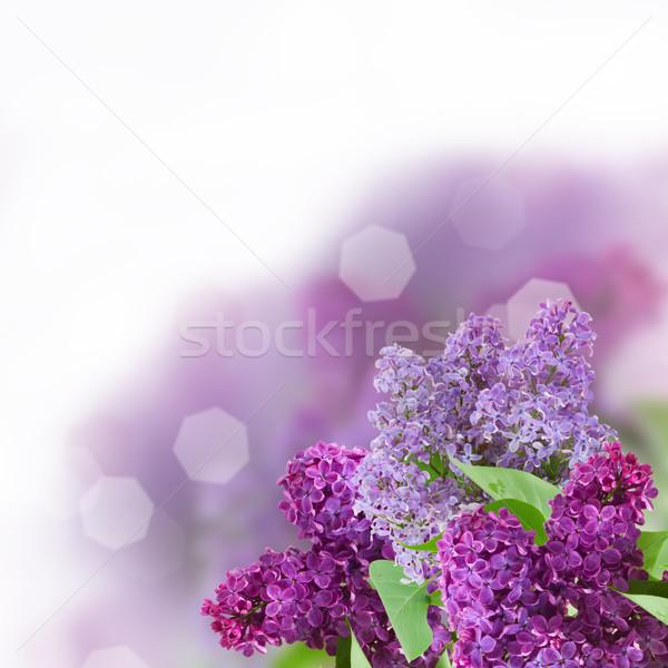 филиала сирень цветы белый изолированный Пасху Сток-фото © neirfy
