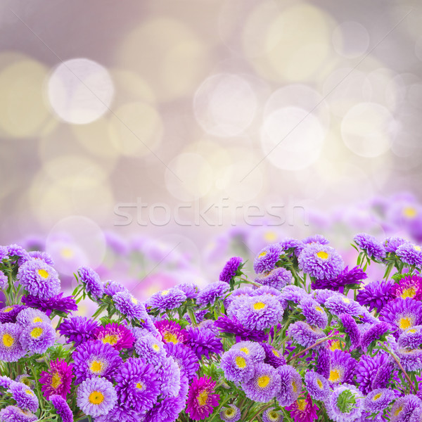 violet aster flowers Stock photo © neirfy