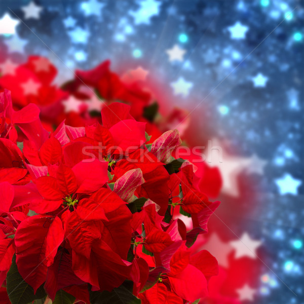 red  poinsettia flower or christmas star  Stock photo © neirfy