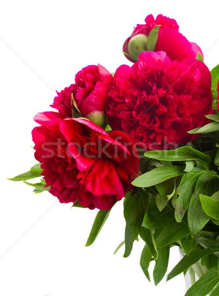 red  peonies Stock photo © neirfy