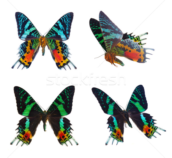 chrysiridia rhipheus butterfly Stock photo © neirfy