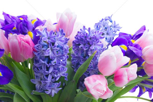 Tulipas rosa azul flores isolado Foto stock © neirfy