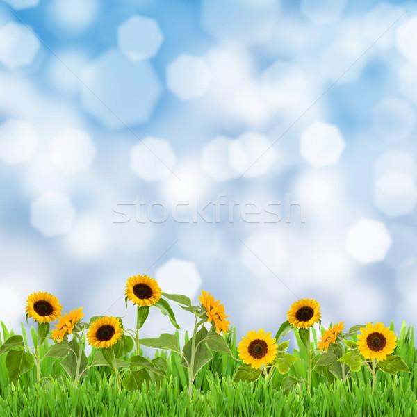 Mező napraforgók kék ég napos idő égbolt virág Stock fotó © neirfy