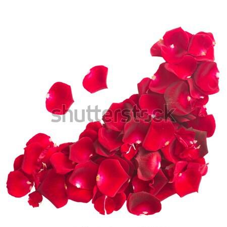 Rozenblaadjes Rood rose bloemblaadjes geïsoleerd Stockfoto © neirfy