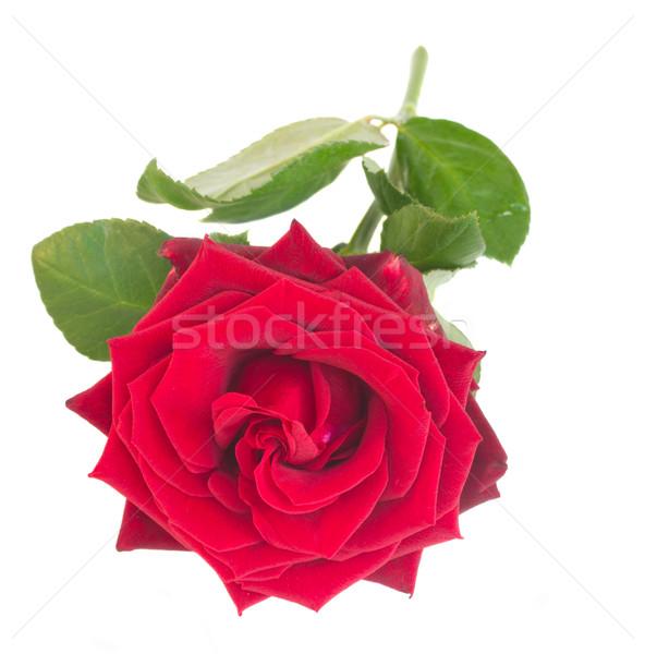 Ein hochrot rote Rose isoliert weiß Natur Stock foto © neirfy