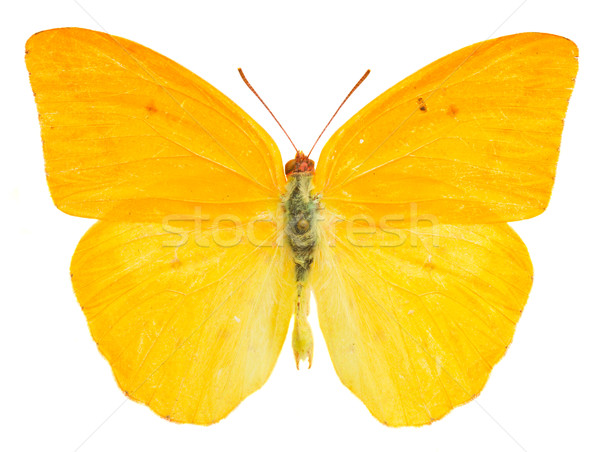 apricot sulphur butterfly Stock photo © neirfy