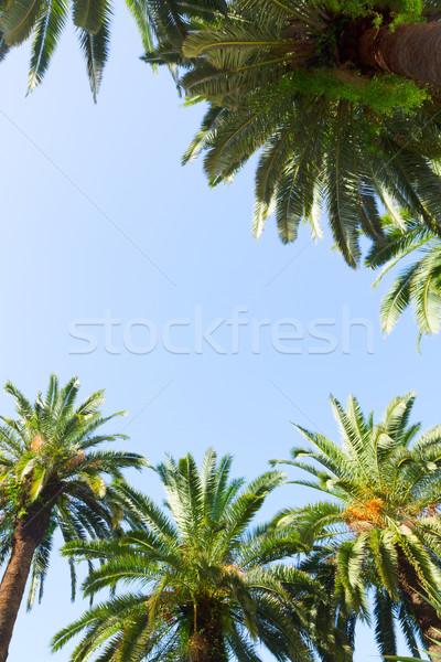 Palmeira quadro tropical palmeiras blue sky céu Foto stock © neirfy