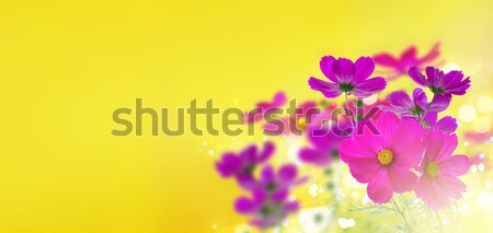 Cosmos pink flowers Stock photo © neirfy