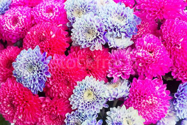 Blauw chrysant bloemen magenta roze macro Stockfoto © neirfy