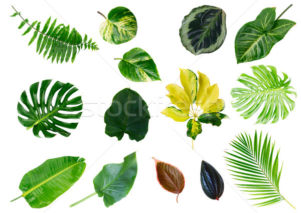 Stock photo: Tropical green leaves