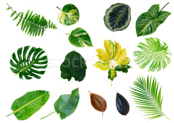 Tropicales hojas verdes verde frescos hojas aislado Foto stock © neirfy