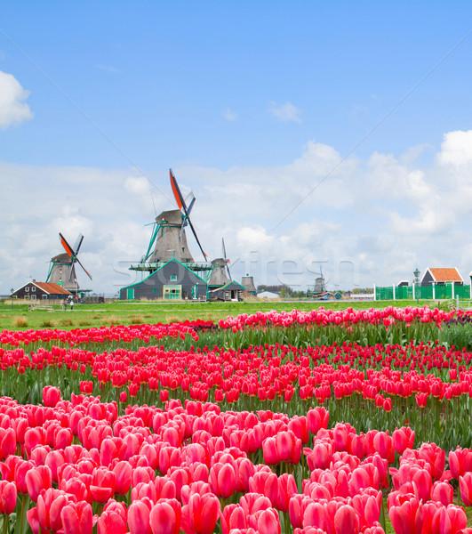 Holenderski wiatrak tulipany dziedzinie kanał różowy Zdjęcia stock © neirfy