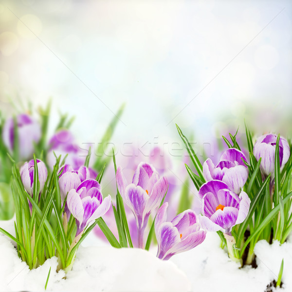 spring crocuses under snow Stock photo © neirfy