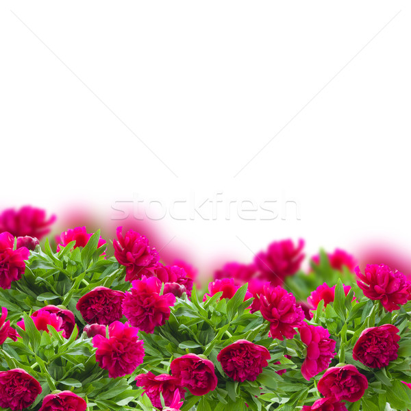 bouquet of peonies Stock photo © neirfy