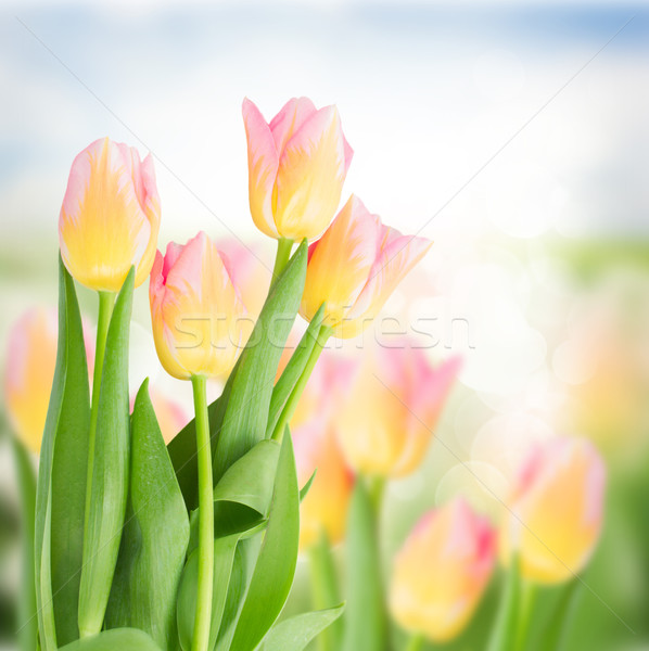 Amarillo rosa tulipanes primavera jardín Foto stock © neirfy