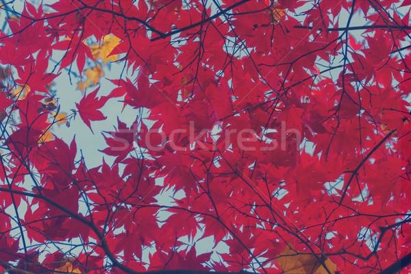 Stok fotoğraf: Kırmızı · akçaağaç · yaprakları · taze · mavi · gökyüzü · Retro